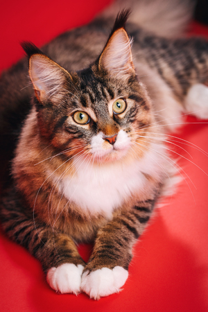 Big cat maine coon Pet. home coziness and tranquility concept. Red background