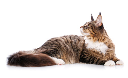 The great maine coon is lying on a white background. time for rest Calm cat is isolated