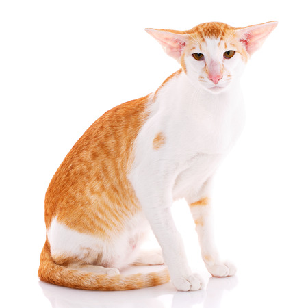 Close-up of an Oriental Shorthair cat looking at camera against white background Imagens