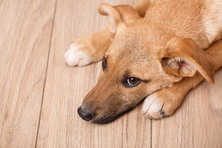 Portrait of redhair dog. Bending his head and grieving. Homeless dog. Stock Photo