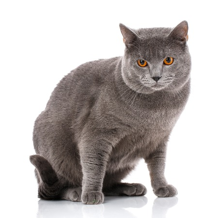 Chartreux cat on a white background. Purebred cat. Well-groomed kitten. Pet, comfort, love and serenity concept