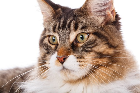 Maine Coon cat portrait, 6 months old, on white background
