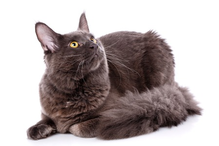 Black Maine Coon cat With long brown wavy hair, lying in front of white background