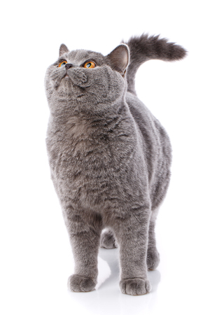 Gray cat british straight on a white background. Purebred cat.. Well-groomed kitten. Pet, comfort, love and serenity concept 免版税图像