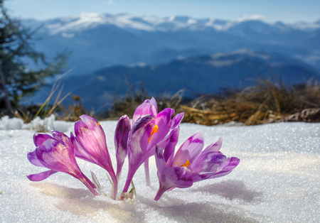 Crocuses blossoming in a mountain valley and snow-covered mountains on a background