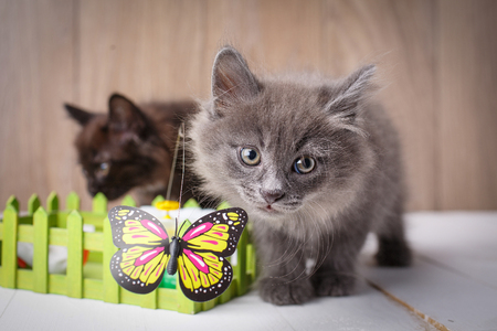 Gray Kurilian Bobtail kittens portrait. Playing with a butterfly. Purebred cats. Pet.