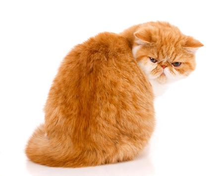 Beautiful, purebred cat. Kitten - portrait of Exotic cat