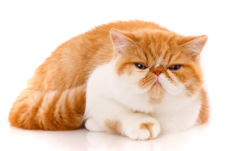 Portrait of Red White Exotic Cat. Stock Photo