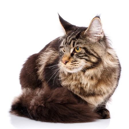 Maine Coon cat With long wavy hair