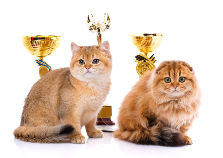Gold chinchilla. Portrait of a smooth-haired straight Scottish and Scottish Fold cat on a white background