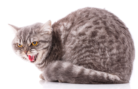 Pets, animals and cats concept - Purebred British cat on a white background