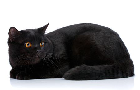 Black Scottish thoroughbred cat on a white background.