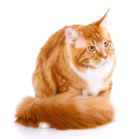 Mainecoon thoroughbred cat on a white background