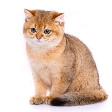 Smooth straight Scottish Cat