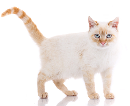 Portrait of domestic white and red kitten. Cute young cat.