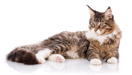 Side view of a Maine coon lying Stock Photo
