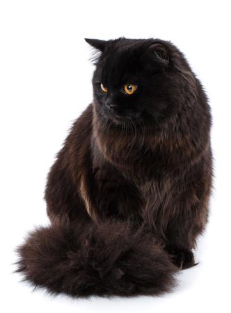 Portrait of British straight cat sitting,