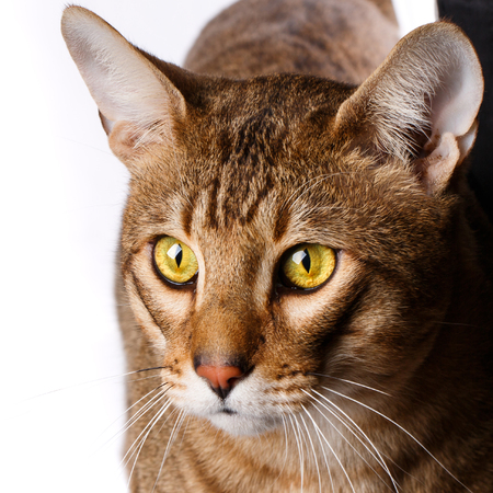 Portrait of a purebred Serengeti cat. Stock Photo