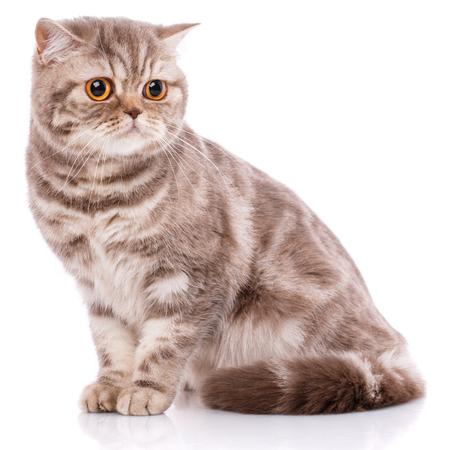 Portrait of Scottish Fold Kitten sitting, Stock Photo