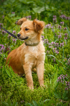 The redheaded homeless dog siting on garden in the village. Dog without breed. Stock Photo
