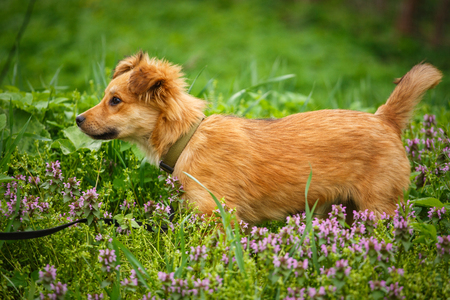 A happy dog walks in the grass and flowers. The puppy walks in the wild. Happy Time Concept