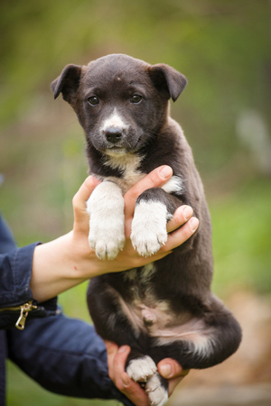 black and white dog on the hands of a veterinarian. Blurred abstract grass background. street puppy needs help. Stock Photo