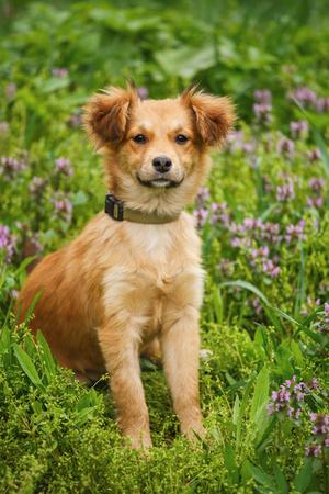 Happy little orange puppy dog is sitting in the grass