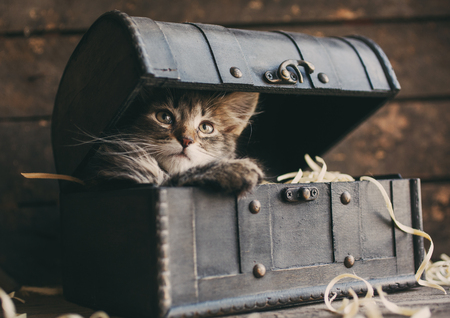 Fluffy kitten in an open vintage chest Foto de archivo