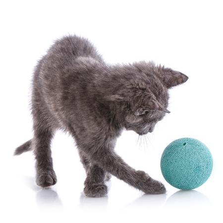A gray cat playing with a blue ball. Isolated on a white background