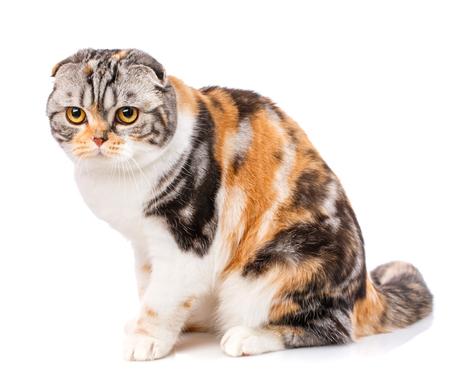 Close-up of Scottish Fold cat on a white background. 版權商用圖片