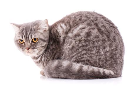Portrait of British straight cat sitting on a white background.