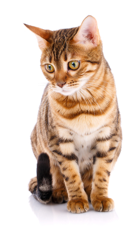 Bengal thoroughbred cat on a white background. Purebred cat. Stock Photo
