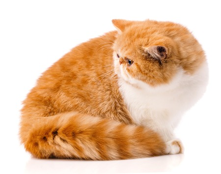 Animal, cat, pet concept - exotic cat on a white background. Stock Photo