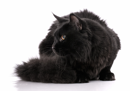 Maine Coon, 7 months old, lying on white background, Stock Photo