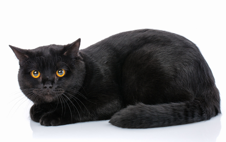 Scottish Straight black kitten on a white background