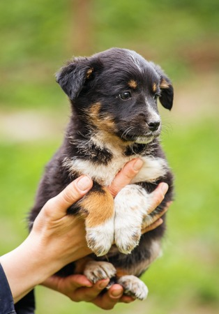 black and white dog on the hands of the veterinarian. Stock Photo