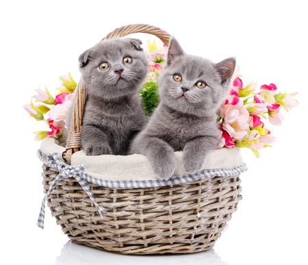 Scottish straight and scottish fold kittens. Cats with decorations Stock Photo
