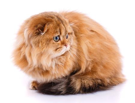 Scottish thoroughbred cat on a white background.