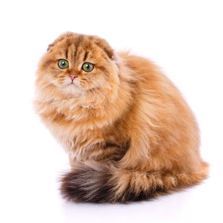 Animal, cat, pet concept - scottish Fold cat