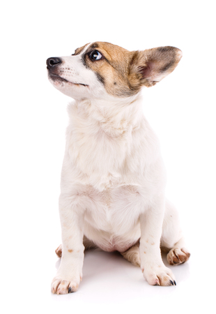 The puppy sits on his hind legs and looks to the left. Poster for pet stores. Isolated on a white background