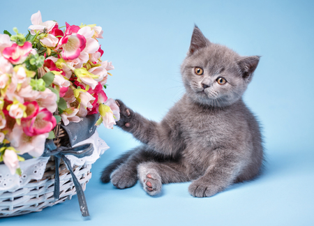 Scottish straight kitten. The cat is playing with flowers. The kitten touches the paw to the flowers. A playful, fluffy kitten explores new territories. On a blue background Фото со стока