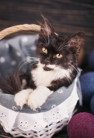 Playful, fluffy, black and white kitten. A cat with long mustaches