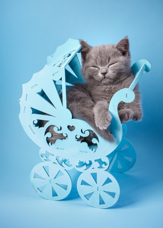Scottish straight kitten. Kitten closed his eyes. Gray kitten sleeps. The cat conveniently laid down in the cradle. The kitten poses in front of the photographer. On a blue background