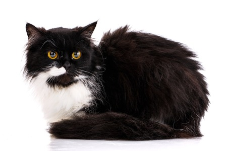 Black and white cat sits sideways. The cat is isolated on a white background. As package design element for cat food