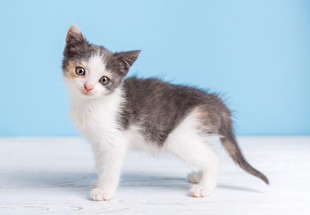 A fluffy, white-gray kitten walking around the table, right to the left. Fluffy white and gray kitten on a white table on a blue background