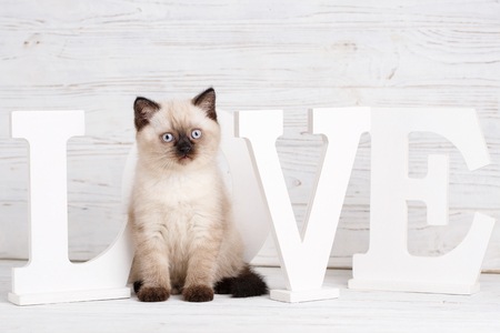 Scottish straight cat cream color. As a design element gift wrapping. A cat sits in place of the letter O in the word LOVE