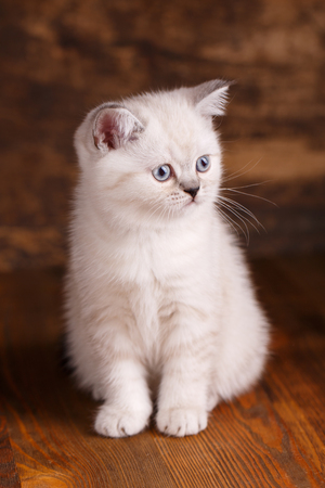 Scottish straight cat cream color. As an element of the design of the showcase. Fluffy white kitten looks to the right