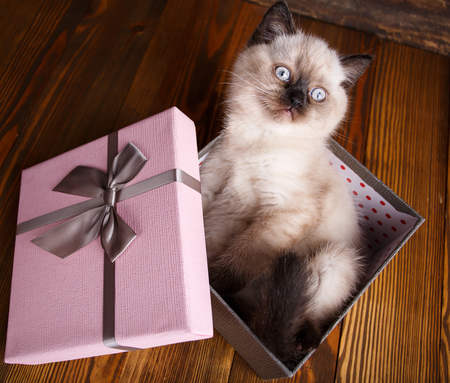 Scottish straight cat cream color. As a design element gift wrapping. Kitten is in the gift box. The cat looks up