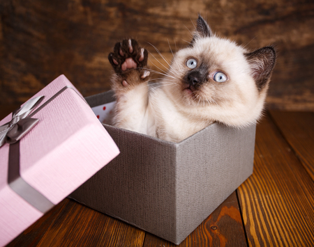 Scottish straight cat cream color. Making a postcard for a lovers day. A playful kitten in the box Zdjęcie Seryjne
