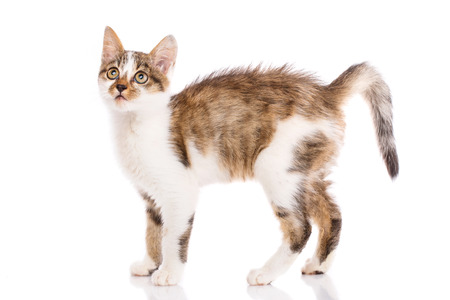 A playful, fluffy kitten looking up. A playful kitten on a white background. The cat is isolated on a white background. Poster for pet stores